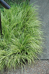 Grassy-Leaved Sweet Flag (Acorus gramineus 'Ogon') at Town And Country Gardens
