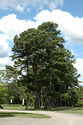 Austrian Pine (Pinus nigra) at Town And Country Gardens