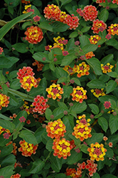 Landmark Citrus Lantana (Lantana camara 'Landmark Citrus') at Town And Country Gardens