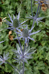 Big Blue Sea Holly (Eryngium 'Big Blue') at Town And Country Gardens