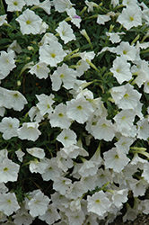 Supertunia® White Petunia (Petunia 'Supertunia White') at Town And Country Gardens