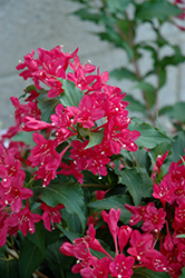 Sonic Bloom Red® Reblooming Weigela (Weigela florida 'Verweig 6') at Town And Country Gardens