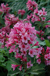 Sonic Bloom® Pink Reblooming Weigela (Weigela florida 'Bokrasopin') at Town And Country Gardens