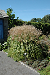 Huron Sunrise Maiden Grass (Miscanthus sinensis 'Huron Sunrise') at Town And Country Gardens