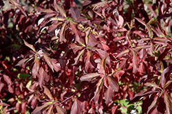 Red Gnome Dogwood (Cornus alba 'Regnzam') at Town And Country Gardens