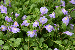 Creeping Mazus (Mazus reptans) at Town And Country Gardens