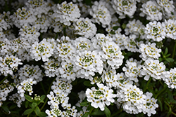 Snowflake Candytuft (Iberis sempervirens 'Snowflake') at Town And Country Gardens
