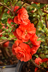 Double Take Orange™ Flowering Quince (Chaenomeles speciosa 'Double Take Orange Storm') at Town And Country Gardens