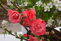 Double Take Pink™ Flowering Quince (Chaenomeles speciosa 'Double Take Pink Storm') at Town And Country Gardens