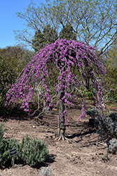 Lavender Twist Redbud (Cercis canadensis 'Covey') at Town And Country Gardens