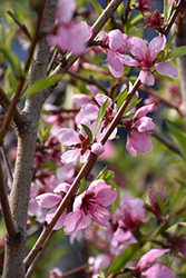Elberta Peach (Prunus persica 'Elberta') at Town And Country Gardens