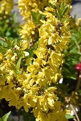 Show Off® Starlet Forsythia (Forsythia x intermedia 'Minfor6') at Town And Country Gardens