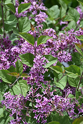Bloomerang® Dark Purple Lilac (Syringa 'SMSJBP7') at Town And Country Gardens