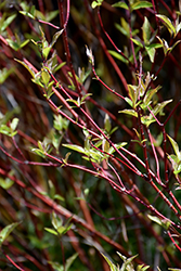 Bailey's Red Twig Dogwood (Cornus sericea 'Baileyi') at Town And Country Gardens