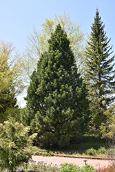 Swiss Stone Pine (Pinus cembra) at Town And Country Gardens