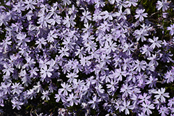 Emerald Blue Moss Phlox (Phlox subulata 'Emerald Blue') at Town And Country Gardens