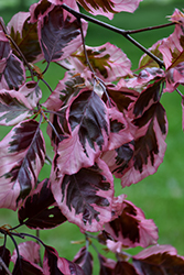 Tricolor Beech (Fagus sylvatica 'Roseomarginata') at Town And Country Gardens