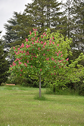 Fort McNair Red Horse Chestnut (Aesculus x carnea 'Fort McNair') at Town And Country Gardens