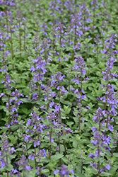 Blue Wonder Catmint (Nepeta x faassenii 'Blue Wonder') at Town And Country Gardens