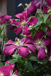 Madame Julia Correvon Clematis (Clematis 'Madame Julia Correvon') at Town And Country Gardens