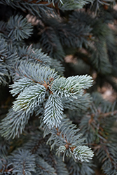 Hoopsii Blue Spruce (Picea pungens 'Hoopsii') at Town And Country Gardens
