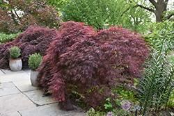 Crimson Queen Japanese Maple (Acer palmatum 'Crimson Queen') at Town And Country Gardens