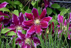 Hania Clematis (Clematis 'Hania') at Town And Country Gardens