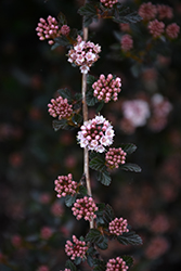 Little Devil™ Ninebark (Physocarpus opulifolius 'Donna May') at Town And Country Gardens