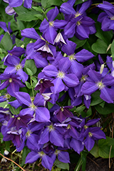 Jackmanii Clematis (Clematis x jackmanii) at Town And Country Gardens