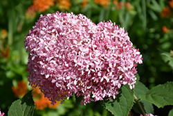 Invincibelle® Spirit Smooth Hydrangea (Hydrangea arborescens 'NCHA1') at Town And Country Gardens