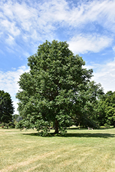 Swamp White Oak (Quercus bicolor) at Town And Country Gardens