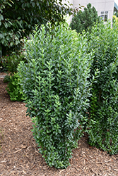 Straight Talk™ Common Privet (Ligustrum vulgare 'Swift') at Town And Country Gardens