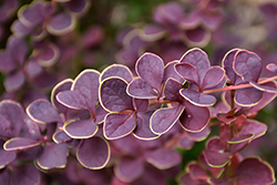 First Editions® Toscana™ Barberry (Berberis thunbergii 'BailJulia') at Town And Country Gardens