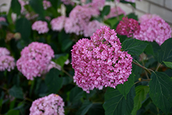 Bella Anna Hydrangea (Hydrangea arborescens 'Bella Anna') at Town And Country Gardens