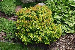 Limoncello™ Barberry (Berberis thunbergii 'BailErin') at Town And Country Gardens