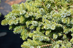 Kamenz Serbian Spruce (Picea omorika 'Kamenz') at Town And Country Gardens