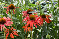 Tomato Soup Coneflower (Echinacea 'Tomato Soup') at Town And Country Gardens