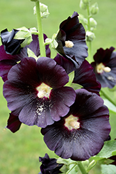 Black Hollyhock (Alcea rosea 'Nigra') at Town And Country Gardens