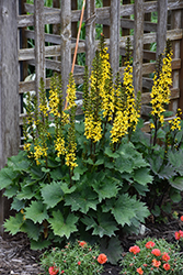Little Rocket Rayflower (Ligularia 'Little Rocket') at Town And Country Gardens