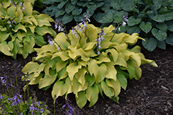 Sun Power Hosta (Hosta 'Sun Power') at Town And Country Gardens