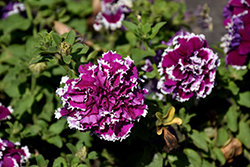 Pirouette Purple Petunia (Petunia 'Pirouette Purple') at Town And Country Gardens