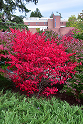 Compact Winged Burning Bush (Euonymus alatus 'Compactus') at Town And Country Gardens