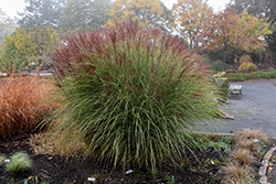 Morning Light Maiden Grass (Miscanthus sinensis 'Morning Light') at Town And Country Gardens