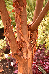 Paperbark Maple (Acer griseum) at Town And Country Gardens