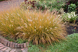 Hameln Dwarf Fountain Grass (Pennisetum alopecuroides 'Hameln') at Town And Country Gardens