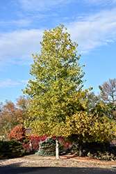 Robusta Poplar (Populus x canadensis 'Robusta') at Town And Country Gardens