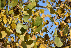 Robusta Poplar (Populus deltoides 'Robusta') at Town And Country Gardens