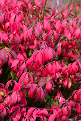 Little Moses Burning Bush (Euonymus alatus 'Odom') at Town And Country Gardens