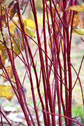 Red Osier Dogwood (Cornus sericea) at Town And Country Gardens