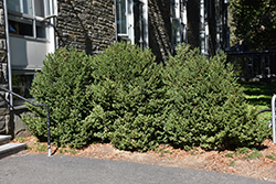 Green Mountain Boxwood (Buxus 'Green Mountain') at Town And Country Gardens